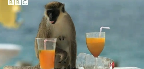 Monkeys Who Like Getting Drunk