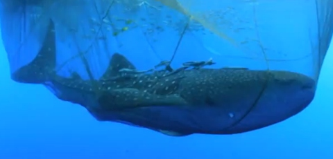 Scientists Free A Whale Shark From A Net