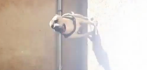 Parkour Dog
