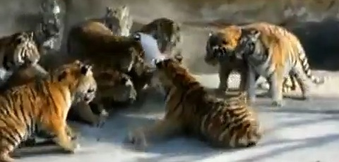 Hungry Siberian Tigers Being Fed A Live Goat