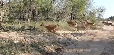 Leopard Kill Caught On Camera